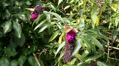 Butterflies in the wind - stock footage