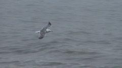 seagull in flight - stock footage