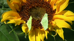 three butterflies on sunflower - stock footage