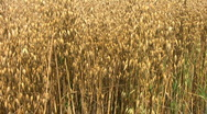 Crop of oats growing in a farm field in Northamptonshire England Stock Footage