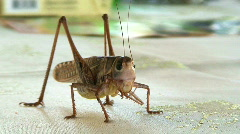 Large cricket close up Stock Footage