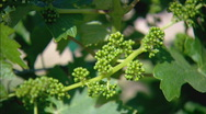 Stock Video Footage of BabyGrapevines