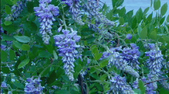 WisteriaCU - stock footage