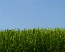 Rice field and the blue sky PAL Stock Footage