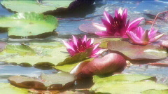 Pond lillies Stock Footage