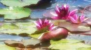 Pond lillies Stock Footage