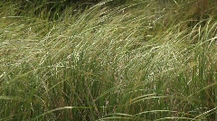 Green Grass Blowing in the Wind Stock Footage