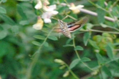 Stock Video Footage of High Speed Camera : Hummingbird Moth 1 Slow Motion
