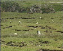 Mountain Sheep Donegal Stock Footage