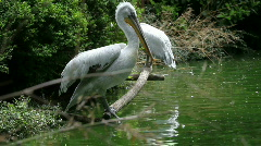White pelican 01 Stock Footage