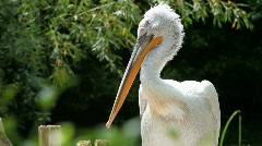 White Pelican 05 Stock Footage