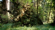 Growth from fallen tree Stock Footage