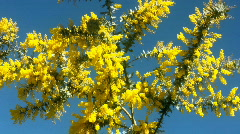 Branches of blooming wattle swaying in the wind Stock Footage