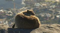 Table Mountain Klipdassie 01 Stock Footage