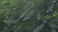 Rainbow Trout in Pond at Fish Hatchery at the Bonneville Dam in Oregon Stock Footage
