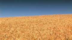Wheat Field against a blue sky - stock footage