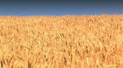 Golden Wheat Field against a blue sky in Washington State Stock Footage
