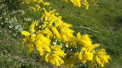 Wattle flowers on green background Stock Footage
