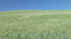 Field of Green Wheat Blowing in the Wind in Palouse, Washington - Wheat Field Stock Footage