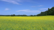Stock Video Footage of Rapeseed field