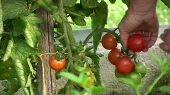 Picking tomatoes Stock Footage
