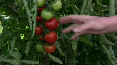 Pick tomatos - stock footage