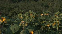 Girl In Sunflower Field Stock Footage