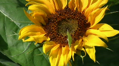 Butterflies on sunflower - stock footage