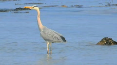Gray Heron 2 Stock Footage
