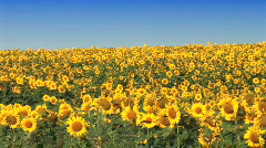 Field Of Sunflowers - stock footage
