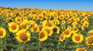 Field Of Sunflowers Stock Footage