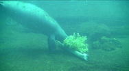 Stock Video Footage of baby manatee