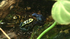 Yellow dart frog Stock Footage