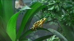 yellow dart frog - stock footage