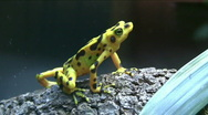 Stock Video Footage of yellow dart frog
