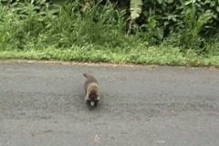 Coati family meet tourists and beg for food.  Stock Footage