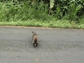 Stock Video Footage of Coati family meet tourists and beg for food.