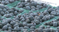 Stock Video Footage of Blueberries
