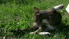 Cat with dermatitis, licking Stock Footage