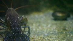 Alive lobster in the water Stock Footage