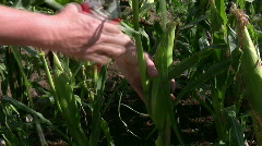 Picking corn cob - stock footage