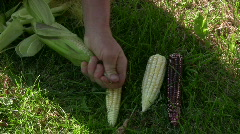 Peel corn cob - stock footage