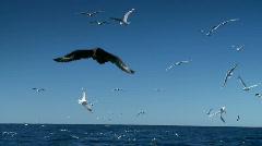 Merilintusivusaaliiden lentoseuranta Troolari Boat, Tiira, Gull, Sea Bird Arkistovideo