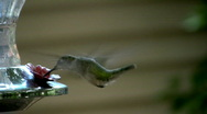 Stock Video Footage of humming bird02