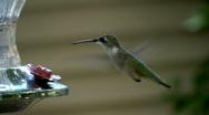 Stock Video Footage of humming bird01