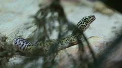 Leopard Lizard Stock Footage