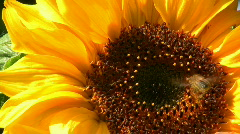 Bee flying on a sunflower Stock Footage