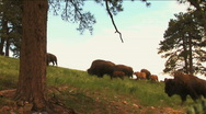 Stock Video Footage of (1113) Bison Grazing on Ranch Land with Calves