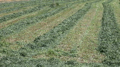 Cut alfalfa hay in rows pan P HD 1928 Stock Footage