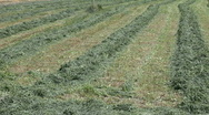 Stock Video Footage of Cut alfalfa hay in rows pan P HD 1928